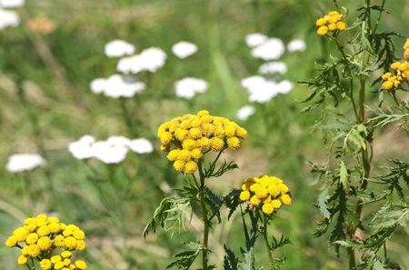 yarrow: Close up of the blooming yarrow Stock Photo