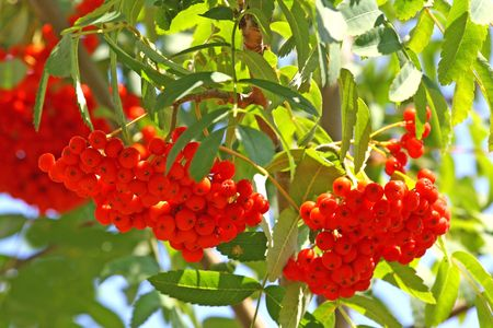 Close up of the bright august rowan berries