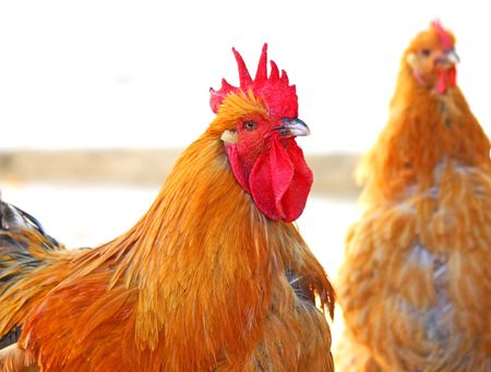 Close up of the bright rooster photo