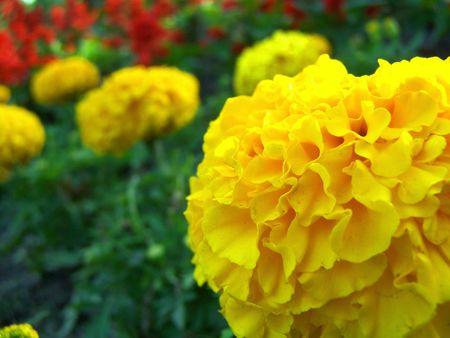Close-up van de gele tagetes bloei
