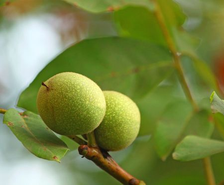 Close up of two green walnuts Stock Photo