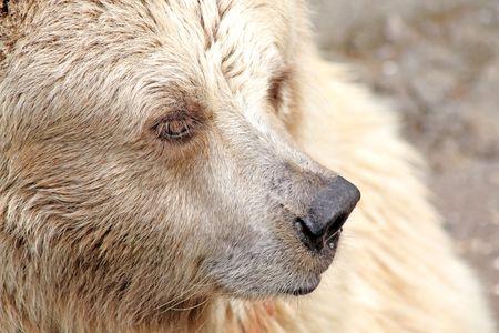 Close up of the white bear muzzle photo