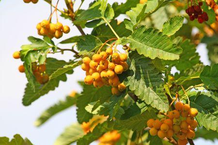 黄色のナナカマドの果実のクローズ アップ 写真素材