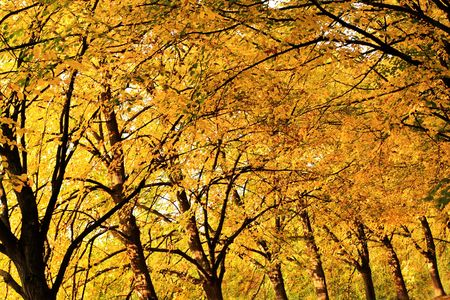 Autumn trees. Golden color of the fall. Stock Photo