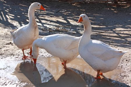 domestic: Three domestic geese in a puddle