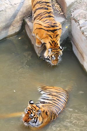 Two tigers. Resting and drinking. photo