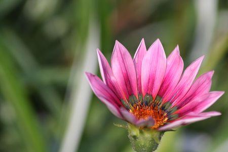 Close up of the pink gazania