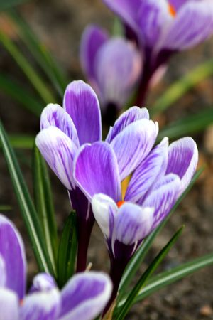 Close up of the violet colored crocuses photo