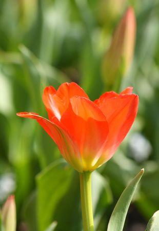 Close-up van de rode tulp