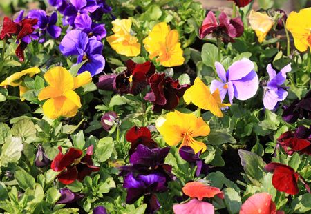 Close up of the different colored viola photo