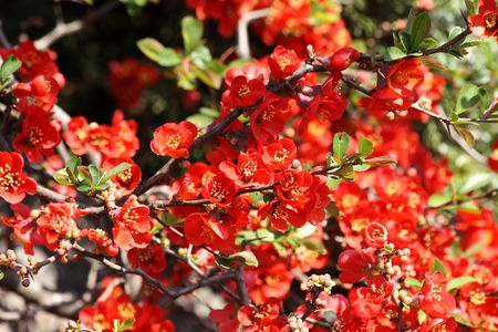 Close up of the blooming red quince