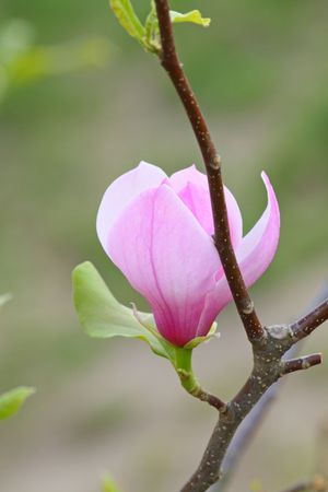 Beautiful blossom of the pink magnolia photo