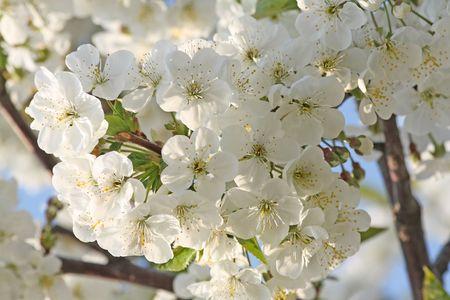 Close-up van de kersenboom bloeit