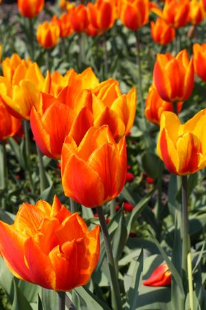 beautiful red tulips close up: Close up of the red and orange colored tulips Stock Photo