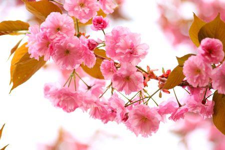 Close-up van de sakura bloesem Stockfoto