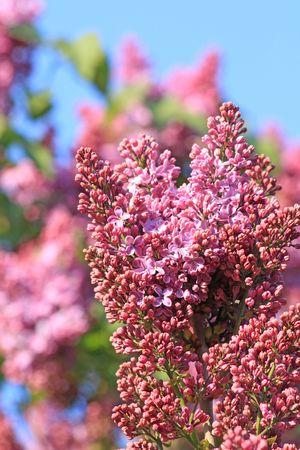 ピンク開花クラスター ライラックのクローズ アップ 写真素材