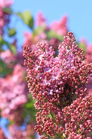 Close up of the cluster of blooming pink lilac photo
