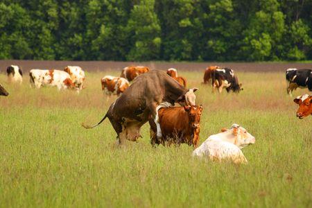 En el per�odo de ovulaci�n de una vaca, otro puede demostrar conducta de apareamiento Foto de archivo - 4951445