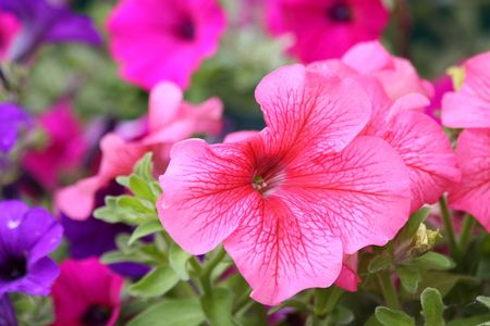 Close up of the blooming petunia photo