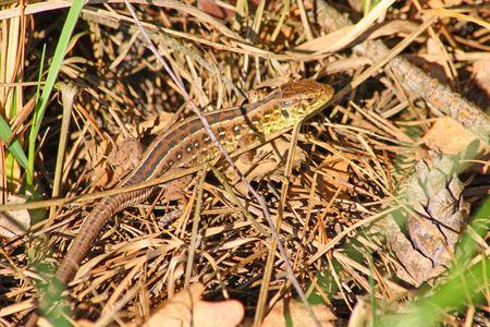 Close up of the lizard Imagens