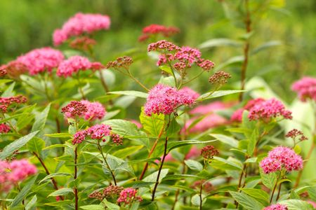 Close up of the Spiraea japonic