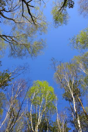 Sky in the wood. Spring. April. photo