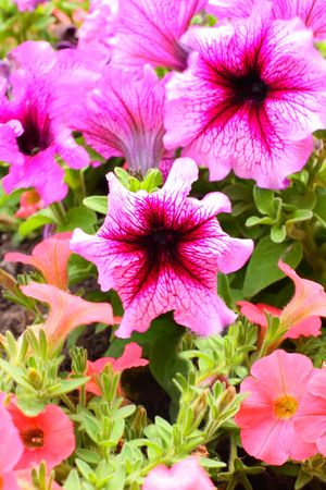Close up of the petunia flowers photo