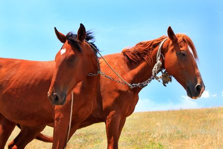 Close up two horses in steppe