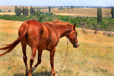 Bay horse on the steppe pasture