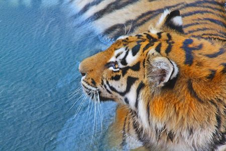 Tiger lying in the water. Symbol of the New Year.