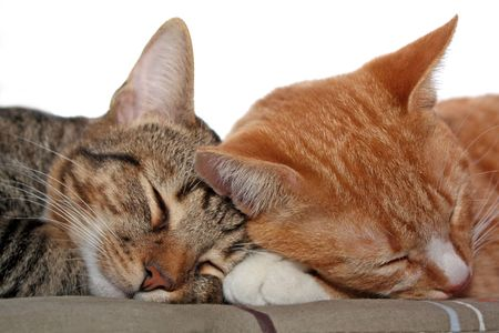 Portrait of the two sleeping pretty cats photo