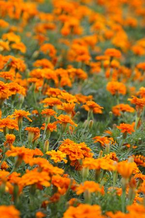 tagetes: Many orange tagetes for the background.
