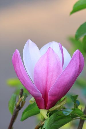 Close up of the pink magnolia flower photo