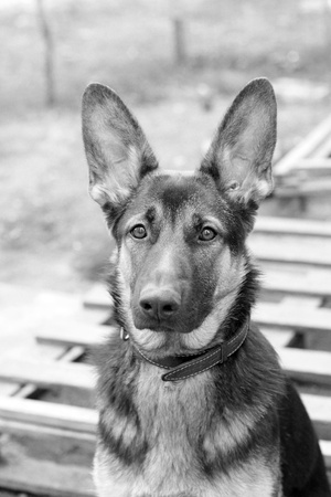 Portrait of the sheep dog. German shepherd Stock Photo - 11021282