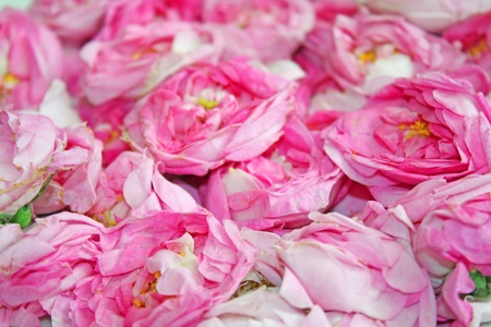 Close up of the roses for background