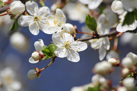 Close up of the blooming cherry tree flowers photo
