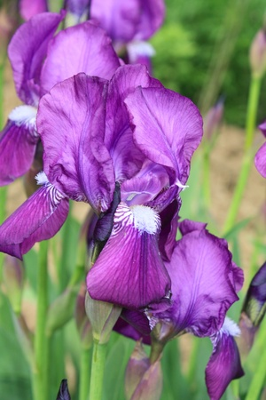 Close up of the blooming iris flowers Reklamní fotografie