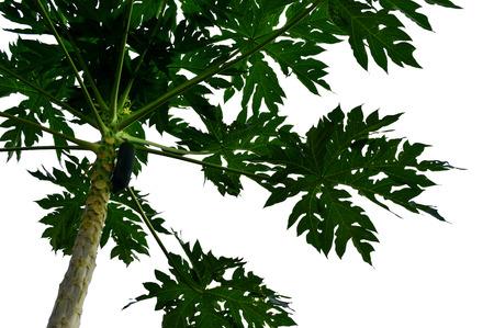 papaw: Papaya tree