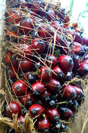 oil tree: Palm oil tree