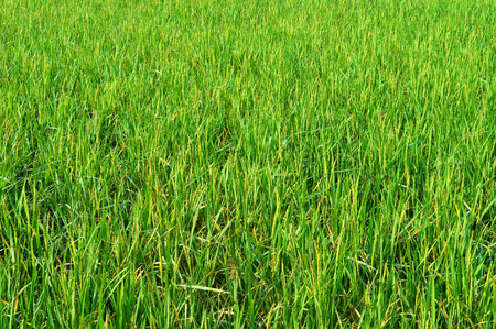 ricefield: Green Ricefield Stock Photo