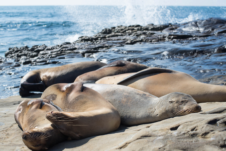 Sea lions sleeping on the rock with sea background. 版權商用圖片 - 95808343