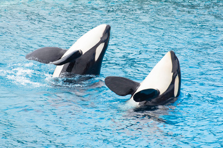 Two killer whale playing in lagoon. 免版税图像