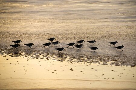 A group of Sandpiper wading in the surf of the Gulf of San Francisco on sunset time. Silhouette photography. Stok Fotoğraf