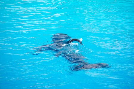 Killer Whale or Orca in blue water. Standard-Bild