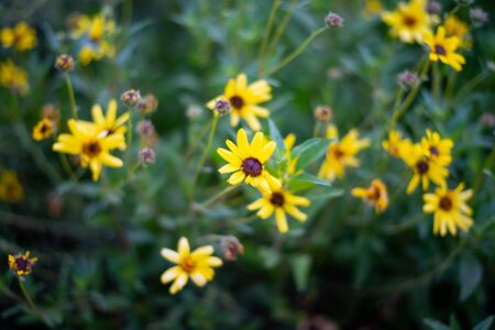 Close up of wild yellow flowers in full bloom on Spring season.