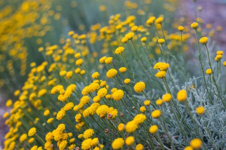 Wild yellow flowers in full bloom in California on Spring season. Stok Fotoğraf