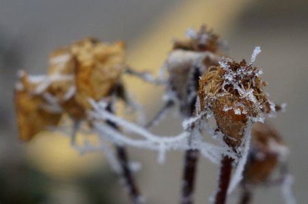 withered flower: A withered flower covered with ice and snow