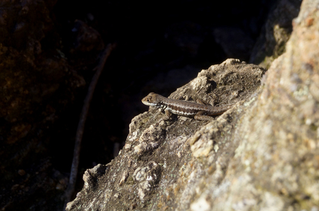 reptilian: Brown lizard on a rock Stock Photo