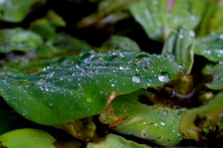 kropla deszczu: raindrop on a green leaf