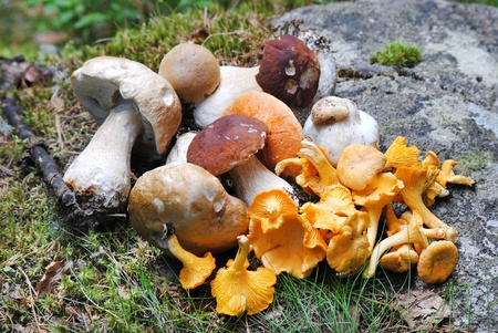 fungous: different edible mushrooms are on the rock